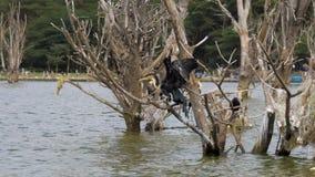 El cormorán grande agita sus alas y se sienta en las ramas secadas de árboles inundados almacen de metraje de vídeo
