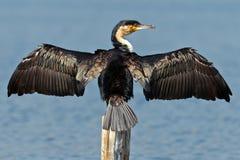 El cormorán seca las alas Imagen de archivo libre de regalías
