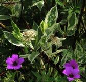 El cornejo en flor, con los geranios salvajes, madrugada sombreó luz del sol fotografía de archivo libre de regalías