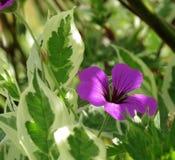 El cornejo se va, varió, con la sola flor del geranio salvaje foto de archivo libre de regalías