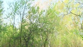 El coro de pájaros en pájaros del bosque de la primavera del paso voló y canta en árboles almacen de video