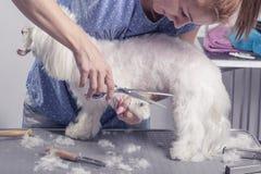 El corte del peluquero scissors la piel del pelo de perro Foto de archivo