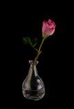 El corte hermoso subió recientemente en el florero contemporáneo de cristal Fotografía de archivo libre de regalías