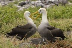 El cortejar agitado de los albatros fotos de archivo