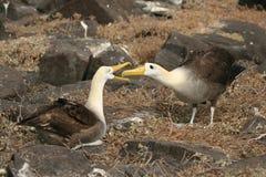 El cortejar de los albatros Fotos de archivo libres de regalías