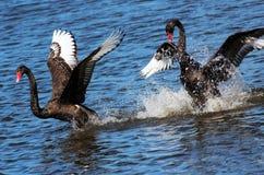 El cortejar de los cisnes negros foto de archivo