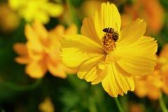 El cosmos amarillo con la abeja Fotos de archivo libres de regalías