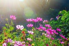El cosmos del flor florece en el prado o el jardín verde en el día soleado con la llamarada Fotografía de archivo