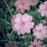 El cosmos florece el foco suave con tonos en colores pastel Foto de archivo libre de regalías