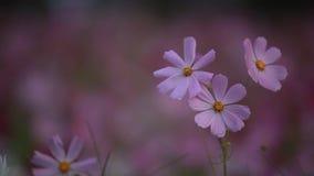 El cosmos florece el pétalo del rosa del viento metrajes