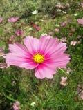 El cosmos rosado Imagenes de archivo
