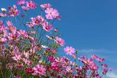 El cosmos rosado colorido florece la floración en el campo con el cielo azul Imagenes de archivo