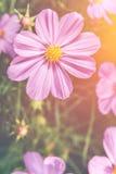 El cosmos rosado de la belleza del primer florece con luz del sol brillante vendimia Imagen de archivo libre de regalías