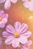 El cosmos rosado de la belleza del primer florece con luz del sol brillante vendimia Foto de archivo