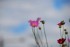 El cosmos rosado florece el primer lateral Fotografía de archivo libre de regalías