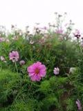 El cosmos rosado florece en el jardín y el fondo negro Fotografía de archivo libre de regalías
