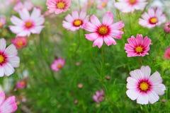 El cosmos rosado florece el fondo Foto de archivo