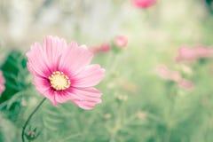 El cosmos rosado florece, las flores del flor de la margarita en el jardín imagen de archivo