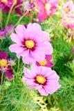 El cosmos rosado florece, las flores del flor de la margarita en el jardín fotografía de archivo
