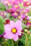 El cosmos rosado florece, las flores del flor de la margarita en el jardín fotos de archivo