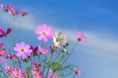 El cosmos rosado y blanco colorido florece la floración en el campo con el cielo azul Imagen de archivo