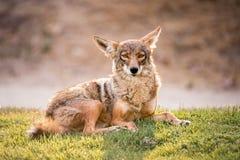 El coyote salvaje pone en un campo herboso, mirando la cámara con una expresión tranquila imagenes de archivo