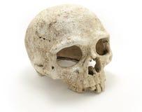 El cráneo humano deshuesa vista lateral AISLADO Foto de archivo