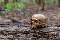 El cráneo se coloca en la madera Fotos de archivo libres de regalías
