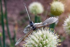 El crataegi de Aporia de dos mariposas, el blanco negro-veteado se est? acoplando en la flor de la cebolla Foco selectivo foto de archivo