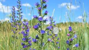 El crataegi de Aporia se sienta en la flor del blueweed del bugloss del ` s de la víbora almacen de video