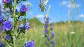 El crataegi de Aporia se sienta en la flor del blueweed del bugloss del ` s de la víbora almacen de metraje de vídeo