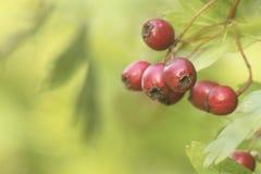 ¡El Crataegus-otoño está aquí! Fotos de archivo libres de regalías