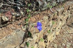 El crecer de flor en la pared de piedra Fotografía de archivo