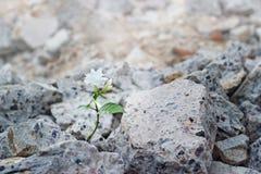 El crecimiento de flor blanca en las grietas arruina el concepto del edificio, de la esperanza y de la fe, foco suave Foto de archivo libre de regalías