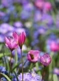 El crecimiento de flor púrpura del azafrán en el macizo de flores imágenes de archivo libres de regalías