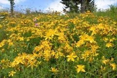 El crecimiento de flores del mosto del ` s de St John en el prado foto de archivo