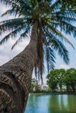 El crecimiento de la palmera del coco sesgó sobre el agua en Tailandia Imágenes de archivo libres de regalías