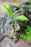 El crecimiento pasado de la hoja de té Imagen de archivo libre de regalías