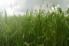El crecimiento verde joven de la avena imagen de archivo
