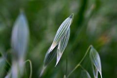 El crecimiento verde joven de la avena fotos de archivo libres de regalías