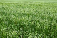 El crecimiento verde joven de la avena fotos de archivo