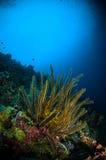 El crinoid de los equinodermos bunaken el SP del lamprometra de Sulawesi Indonesia Subacuático Fotografía de archivo