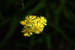 El crisantemo amarillo Fotos de archivo libres de regalías