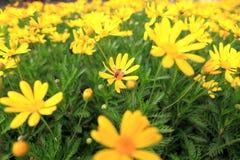 El crisantemo amarillo de las flores con la abeja Imagenes de archivo