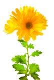El crisantemo amarillo florece con las hojas, aisladas en blanco Foto de archivo