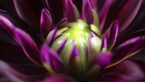 El crisantemo bajo macro gira almacen de metraje de vídeo