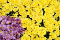 El crisantemo colorido florece el fondo hermoso Fotos de archivo