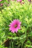 El crisantemo está floreciendo que significa jóvenes y active y e Imagen de archivo libre de regalías