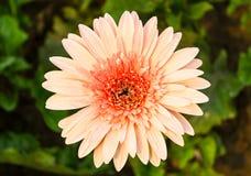 El crisantemo florece hermoso Fotografía de archivo