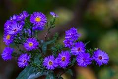 El crisantemo púrpura Fotografía de archivo